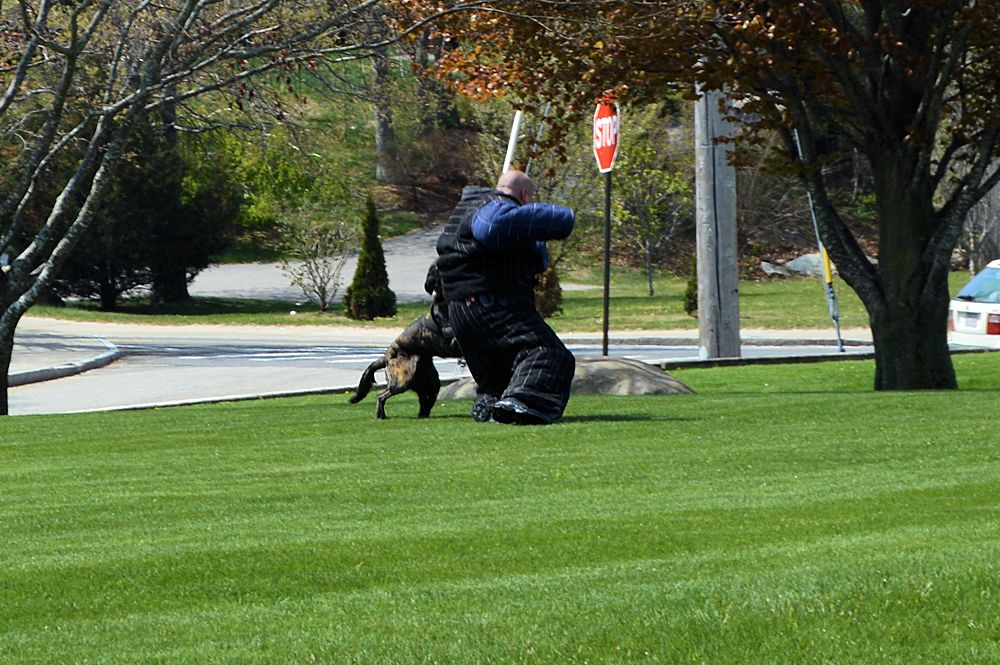 Plymouth Police K9 Cain gets his man
