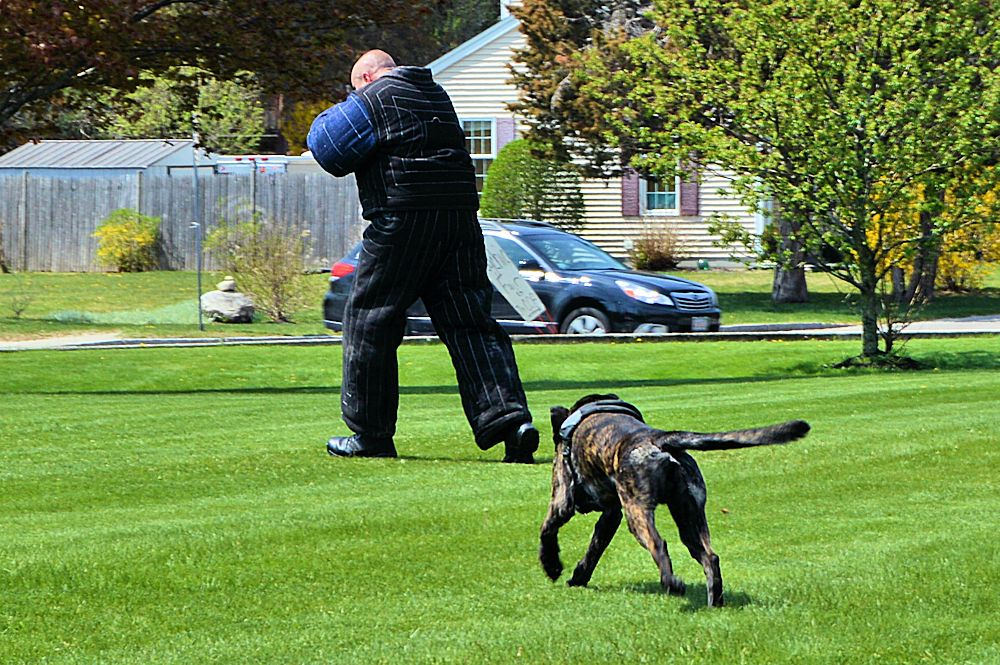 Plymouth Police K9 Cain chases the bad guy.