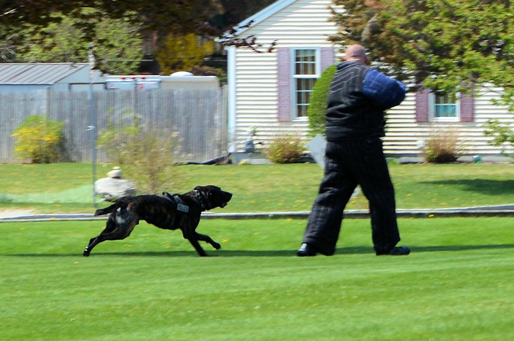 K9 Cain about to take the bad guy down again!!