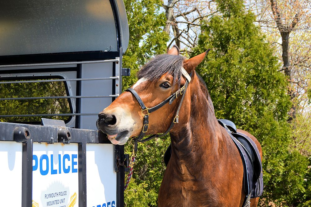 This Horse Telling us he is a Police Horse.